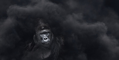Portrait of a male gorilla on a black background, severe silverback, Grave look of the great ape, the most dangerous and biggest monkey of the world. The chief of a gorilla family. APE