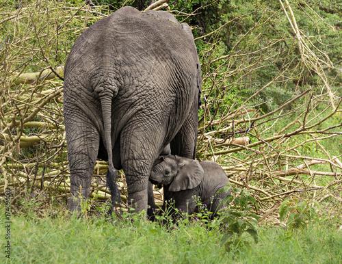 Nursing Elephant