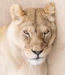 Wall Mural - Gorgeous lioness