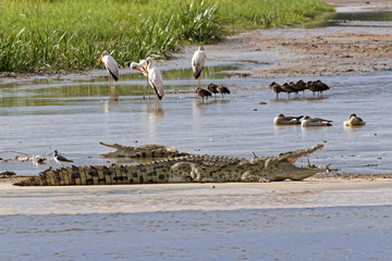 Crocodiles on the Nile River