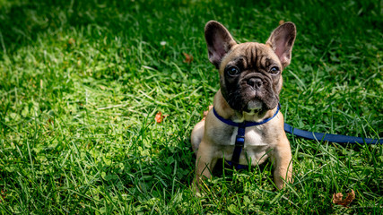 Photo sur Plexiglas Bouledogue français French Bulldog park
