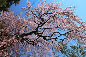 台の桜(郡山市)