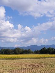 秋の稲穂 青空 白い雲 稲刈り 収穫 実り 秋晴れ 田園風景