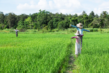 Scarecrows standing at green rice field with forest and blue sky background