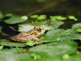 Marsh Frog in the Danube Delta, Romania