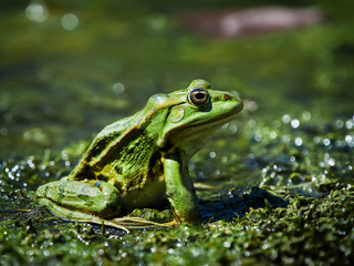 Marsh Frog in the Danube Delta, Romania