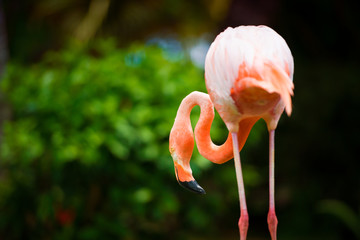 A pink Caribbean flamingo in the garden.