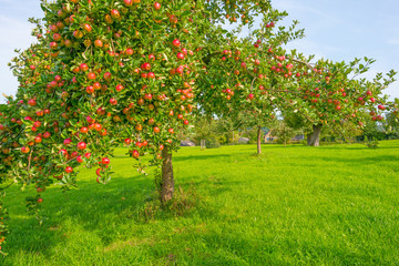 Fruit trees in an orchard in sunlight in autumn