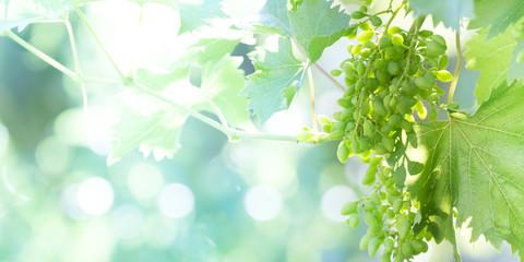 Green grapes in a vineyard Fototapete