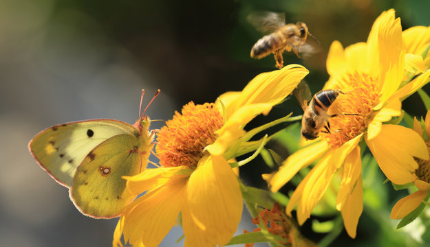 Yellow butterfly on yellow flower and on a blurry gray background