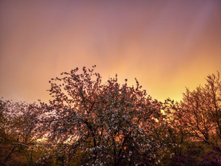 Beautiful sunset cloudy sky with dark silhouettes of blooming trees