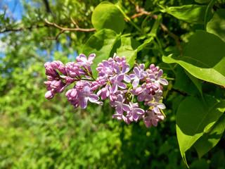 Foto op Aluminium Lilac Beautiful magenta lilac blossom and blue sky
