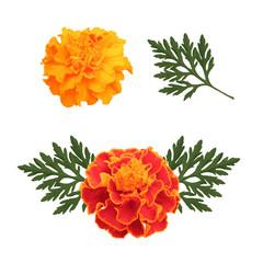 marigolds isolated on white