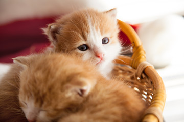 two small ginger kitten in the basket in home