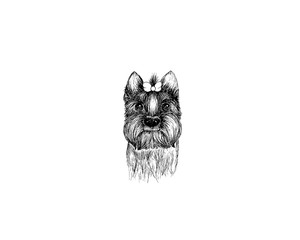 drawing illustration of yorkshire terrier breed dog cartoon pencil and charcoal on paper art and pastel black sketch on white background
