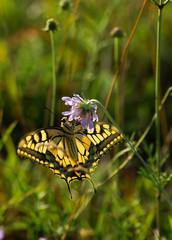 Butterfly - papillon