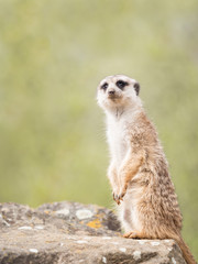 Meerkat, suricate sitting on a rock