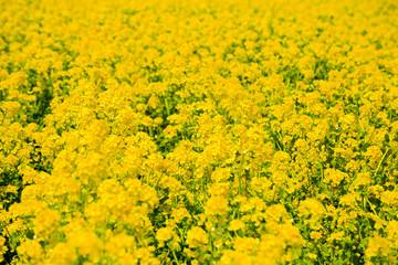 Rape flower field in Awajihanasajiki, Awaji Island, Hyogo prefecture, Kinki