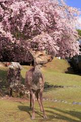 Weeping cherry and deer in Nara Park, Nara, Nara Prefecture, Japan