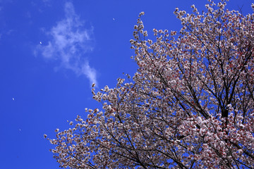 Cherry tree and blue sky in Japan
