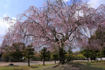 Weeping cherry in Nara Park, Nara, Nara Prefecture, Japan