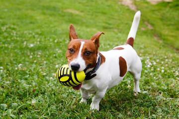 Jack Russell Terrier with ball on green meadow