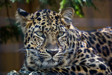Printed roller blinds Leopard Amur leopard with green eyes looking at something