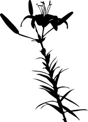 lily black silhouettes with two buds and bloom