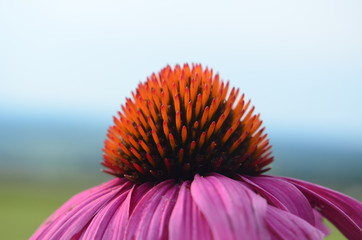 Isolated closeup side view of pink coneflower