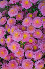 beautiful multicolored flowers of asters grown in the summer garden.