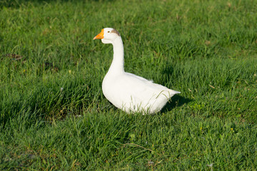 white goose with young ducks on green grass