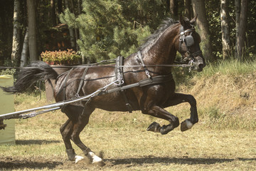 Acrylic Prints Horses Bruin paard steigerd