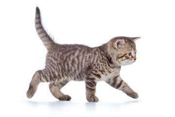 Grey cat kitten walking gracefully along white background