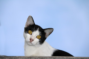 Cat black and white color sitting on the roof and blue sky background. Black and white cat Sitting and tilted neck on the cover of house.