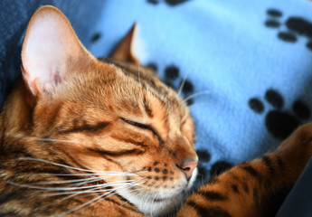 Bengal can sleeping on blue cat blanket