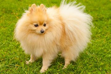 pretty cute pomeranian spitz dog