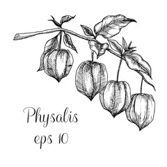 Hand drawn physalis