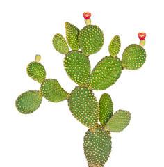 Foto op Plexiglas Cactus Opuntia cactus isolated on white background