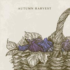 Beautiful vintage background. Autumn harvest. Basket with figs. Vector illustration.