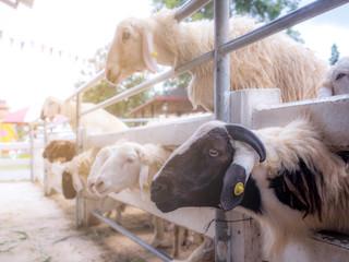 Sheep on a farm outdoor, black sheep