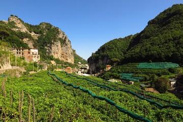 Terraced fields of lemon trees in Valle delle Ferriere, Amalfi Coast, Italy
