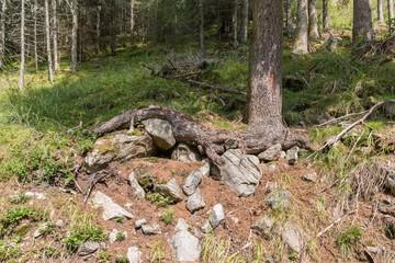 Wurzeln eines alten Baumes in den Bergen, Österreich