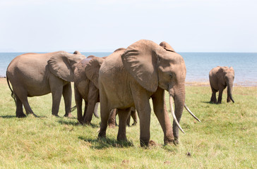 Large herd of elephants on the lush plains in Bumi, on the shore of Lake Kariba,
