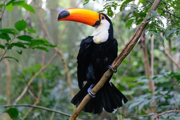 Foto op Plexiglas Toekan Colorful toucan in the aviary