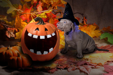 A funny puppy in a witch's hat wants to lick a pumpkin  against the background of autumn leaves. Halloween.