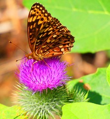 Butterfly on purple thistle flower close up.