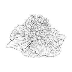 Flower ink sketch. Isolated on white background