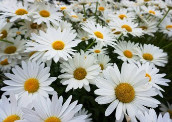 Multiple white daisies with yellow centre in close up.