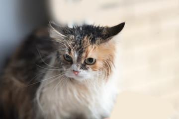 Wet cat after a bath