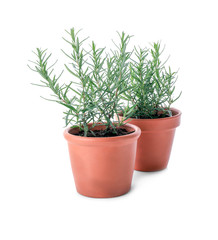 Pots with rosemary on white background